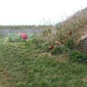 Troupeau de poulettes en goguette près du campement